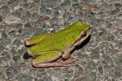 Tree Frog-3