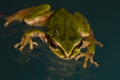 Treefrog Reflection