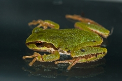 Treefrog Reflection 2