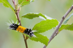 Woolly-Bear