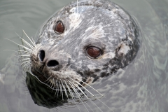 Harbour-Seal-Portrait