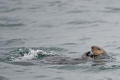 Sea Otter 6