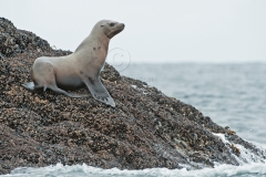 Steller-Sea-Lion