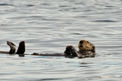 Sea-Otter 3