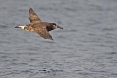 Black Footed Albatross - Maui