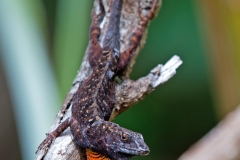 Brown Anole 3