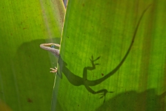 Green Anole 4