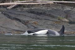 Orca-Backstroke