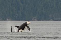 Orca-Breach-2