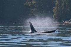 Orca-Spray