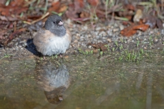 Bathtime Junco