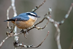 RB-Nuthatch