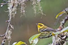 Townsends-Warbler