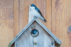 Tree-Swallows