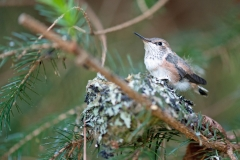 Hummingbird-Chick