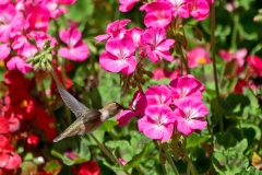 Female-Hummingbird 2