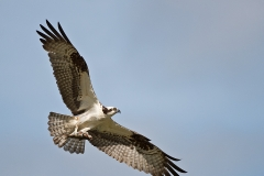 Osprey-and-Trout