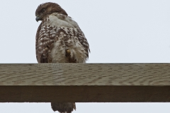 Red-Tailed-Hawk2