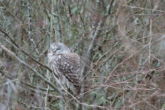 Barred-Owl-2