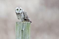 Short-Eared-Owl_1