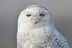 Snowy Owl Portrait 2