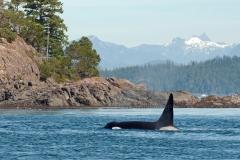 Orca-Scenic