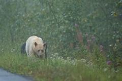 Roadside-Spirit-Bear