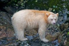 Spirit-Bear-6