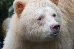 Spirit-Bear-Portrait