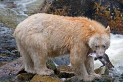 Spirit-Bear-and-Salmon