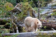 Spirit-Bear-on-a-Log