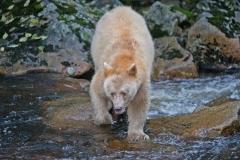 Spirit_Bear_on_the_Prowl
