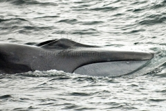 Fin-Whale-Jaw