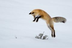 Leaping Fox 2
