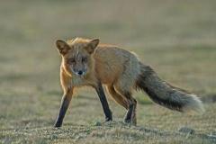 Female Red Fox