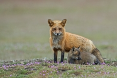 Red Fox Mum and Kit