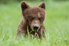 Cub_in_the_Grass