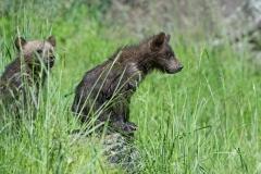 Cubs-Watching-Mum