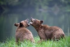 Playful-Cubs