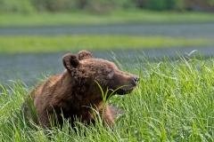 Sunbathing-Bear