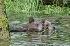 Swimming-Cubs-2