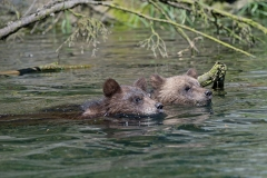Swimming-Cubs