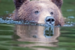 Swimming_Grizzly
