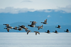 Brant-Geese-1