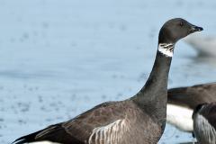 Brant-Goose