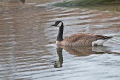 Canada-Goose-2