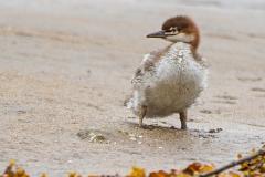 Common Merganser Chick