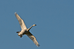 Trumpeter-Swan-In-For-Landing