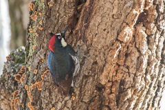 Acorn Woodpecker 2