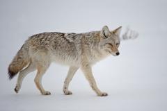 Coyote on Patrol